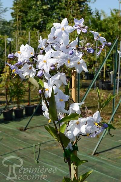 SOLANUM Jasminoides