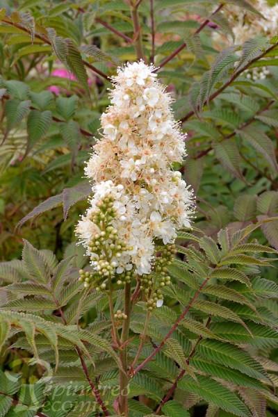 SORBAIRE Sorbifolia Sem