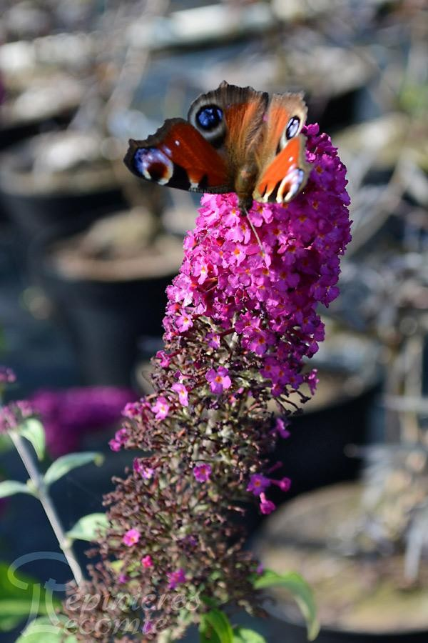 BUDDLEIA de David 'Rêve de Papillon Rouge'