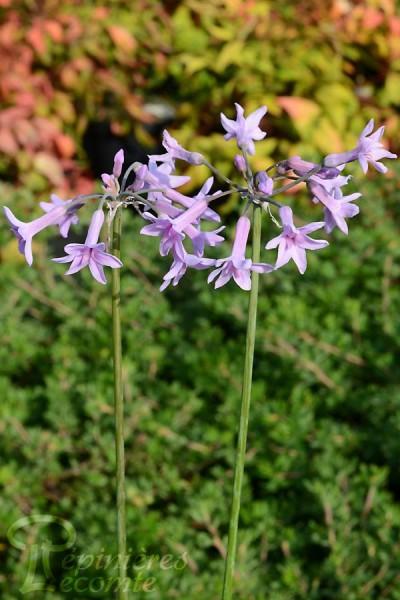 TULBAGIE violette