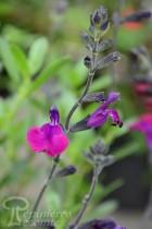 SAUGE Violette de Loire