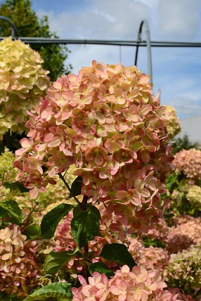 HORTENSIA Little Lime