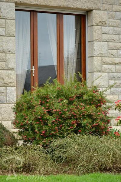 GREVILLEA juniperina 'Rosmarinifolia'