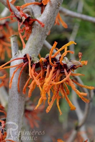 NOISETIER des Sorcières 'Orange Beauty'