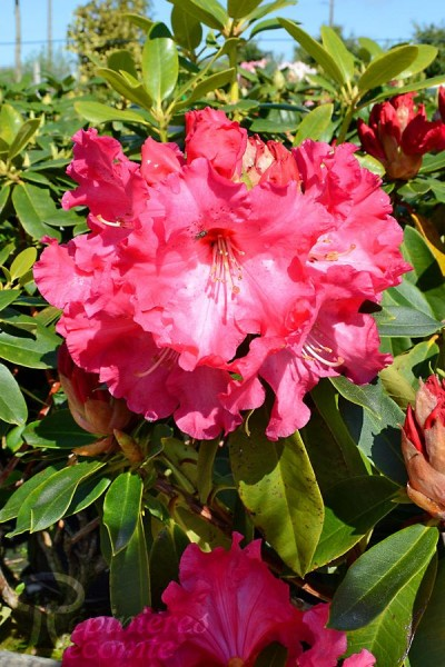 RHODODENDRON hybride Heart's Delight