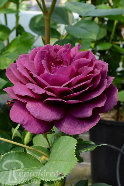 ROSIER Purple Eden®