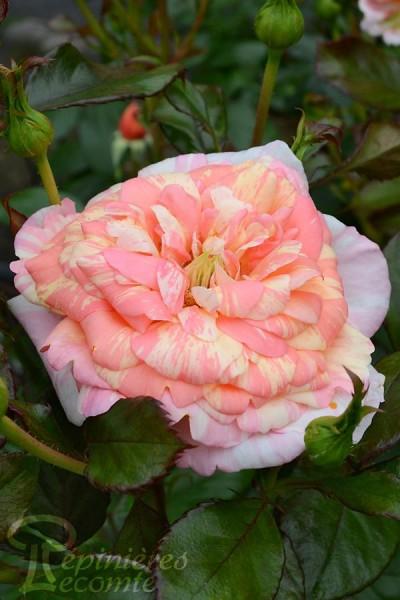 ROSIER La Rose des Impressionnistes®