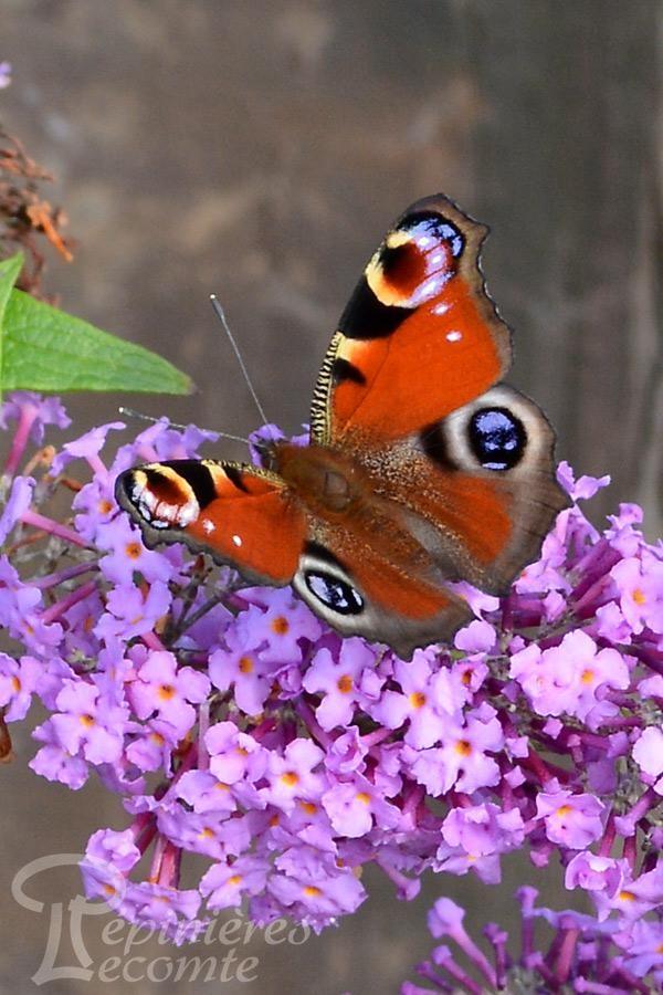 BUDDLEIA nain 'Reve de Papillon' pink