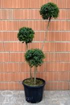 TROÈNE à feuilles de buis 3 boules (Topiaire)