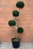 TROÈNE à feuilles de buis 4 boules (Topiaire)