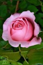 ROSIER Rose de Cornouaille