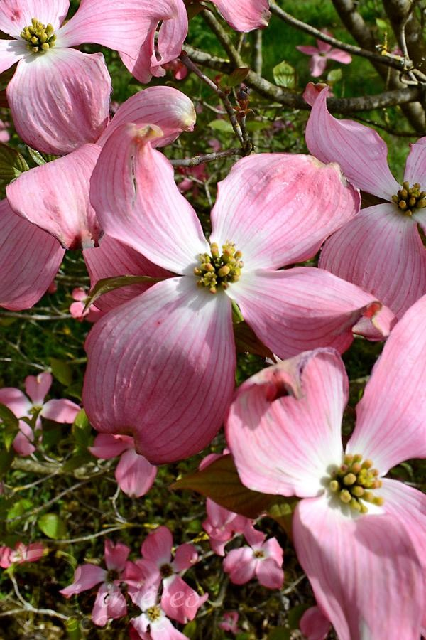CORNOUILLER à grandes fleurs 'Rubra'