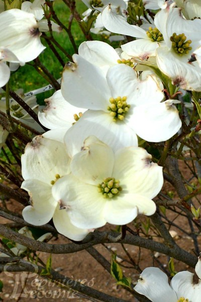 CORNOUILLER à grandes fleurs 'Daybreak'