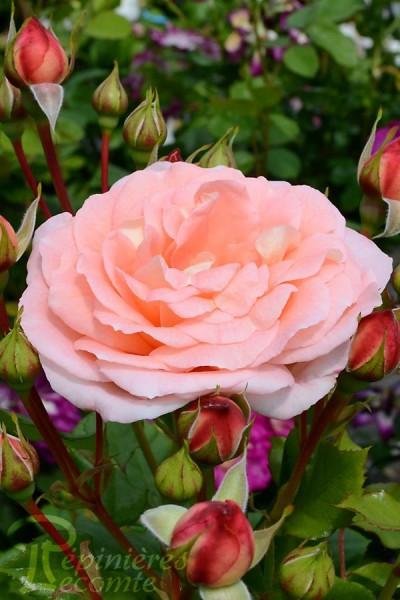 ROSIER Bonita Renaissance® (Grimpant)