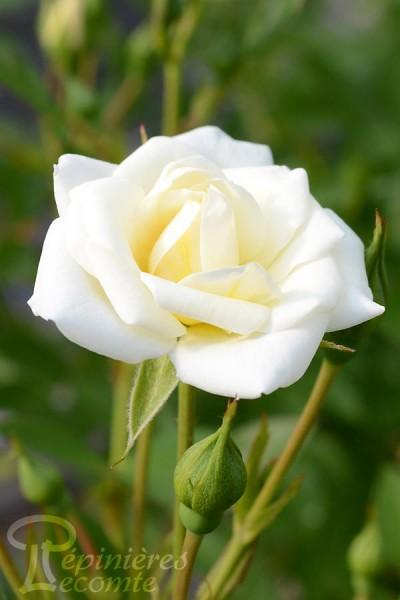 ROSIER White Cover