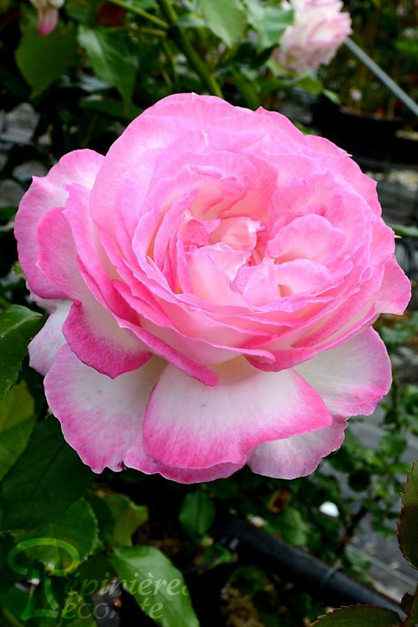 ROSIER Sweet Delight®