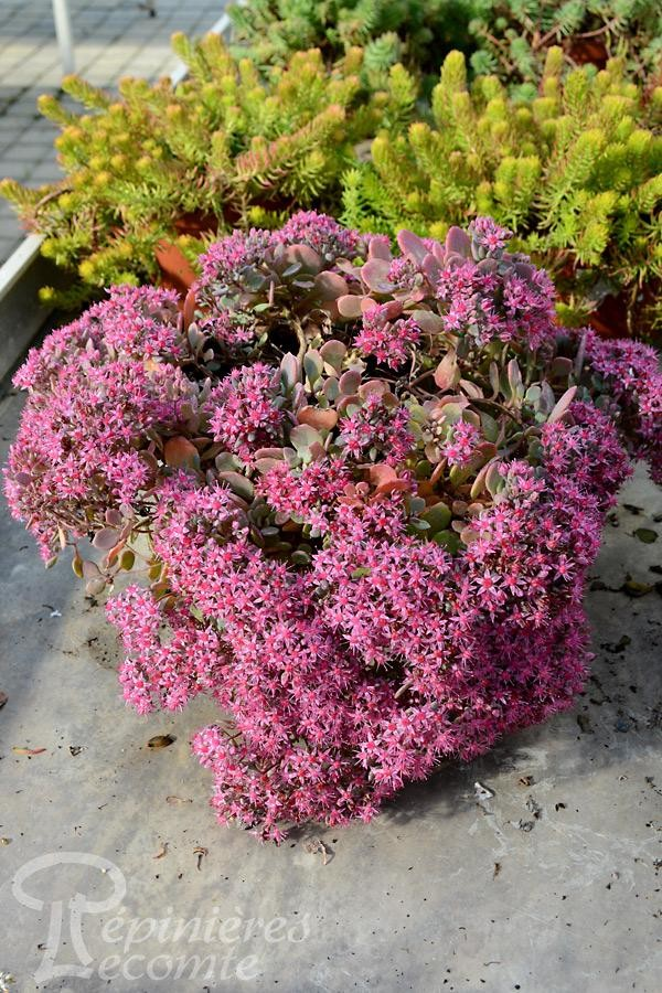 SEDUM Painted Pebble