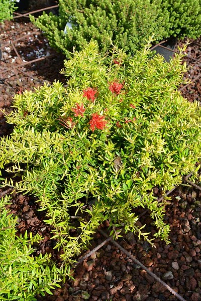 GREVILLEA juniperina 'New Blood'