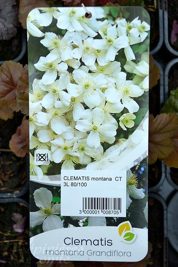 CLÉMATITE 'Montana Grandiflora'