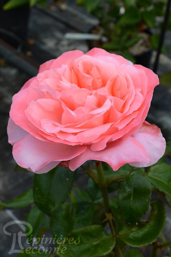 ROSIER Special Anniversary® (Tige)