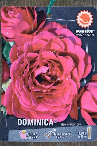 ROSIER Dominica® (Tige)
