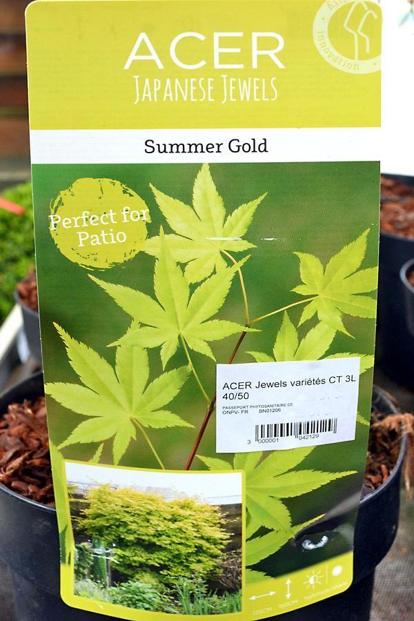 ÉRABLE du Japon Summer Gold