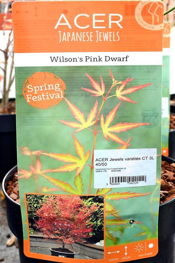ÉRABLE du Japon Wilson's Pink Dwarf