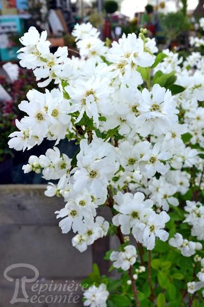EXOCHORDA Magical Springtime