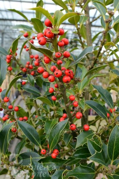 HOUX aquifolium Alaska