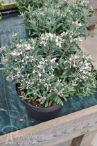 ANDROMEDE polifolia Blue ice