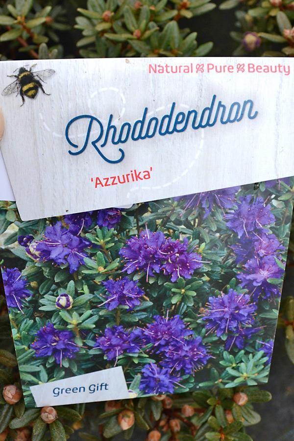 RHODODENDRON nain impeditum Azurika