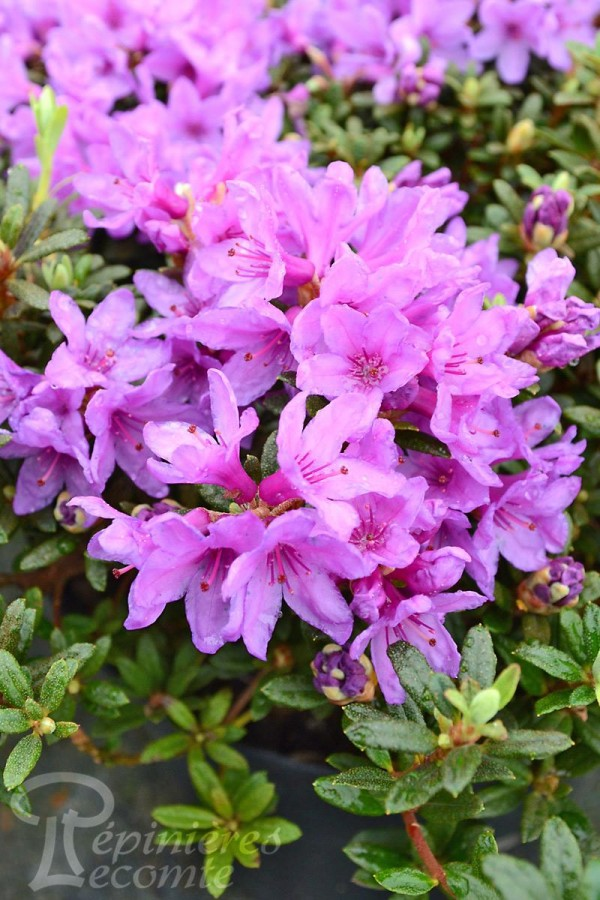 RHODODENDRON (nain) impeditum Frost Hexe