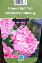PIVOINE Herbacée 'Alexander Flemming'