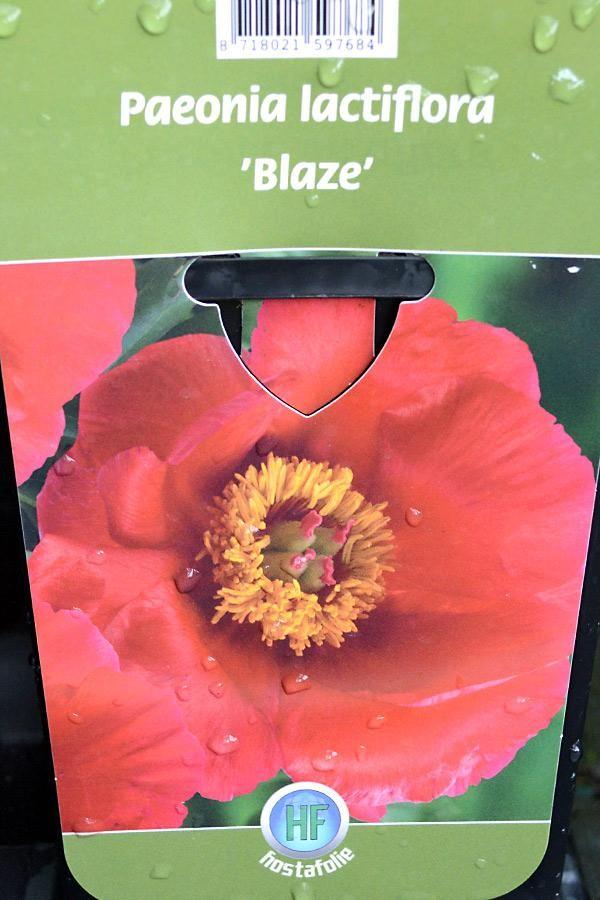 PIVOINE Herbacée 'Blaze'