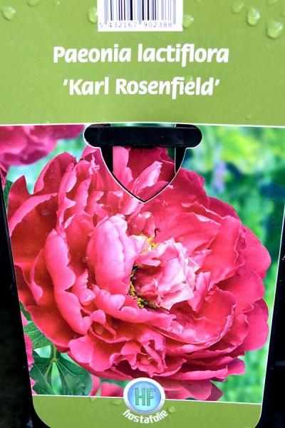 PIVOINE Herbacée 'Karl Rosenfield'