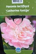 PIVOINE Herbacée 'Catherina Fontijn'