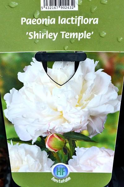 PIVOINE Herbacée 'Shirley Temple'