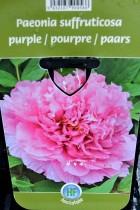 PIVOINE Arbustive Pourpre