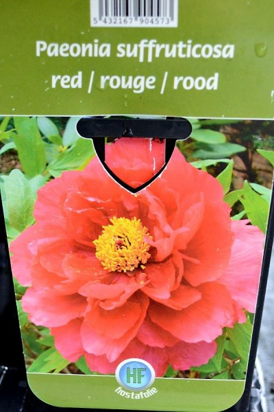 PIVOINE Arbustive Rouge