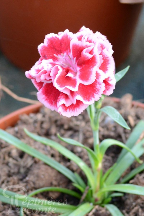OEILLET Raspberry Sundae Rose
