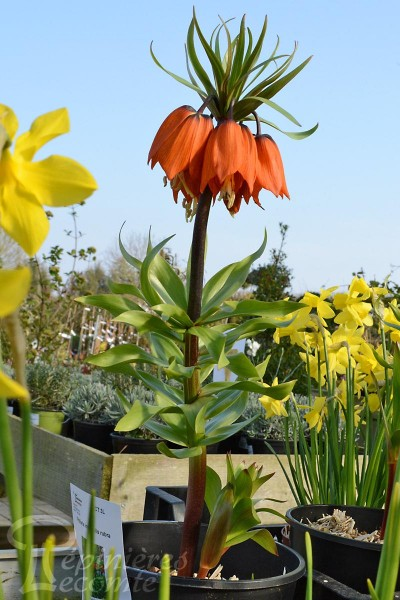 FRITILLAIRE imperialis 'Rubra'