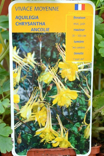 ANCOLIE Yellow Queen