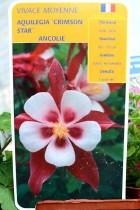 ANCOLIE Crimson Star