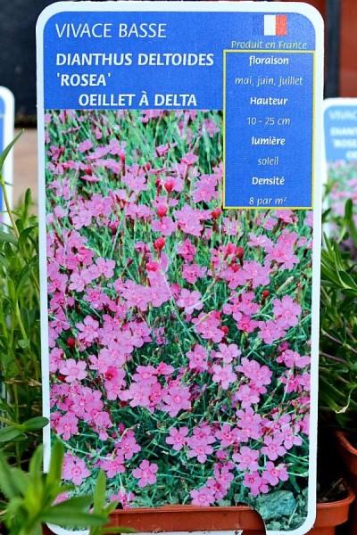 OEILLET à Delta