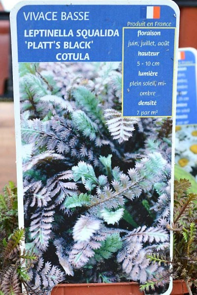 COTULA Platt's Black
