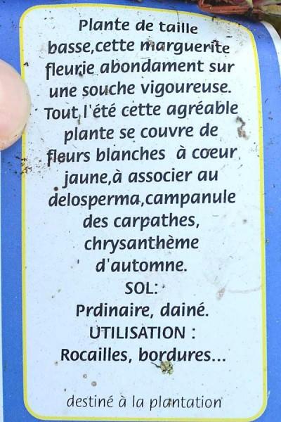 CHRYSANTHHEME Naine Blanche