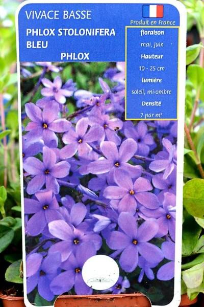 PHLOX Bleu