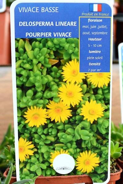 POURPIER Vivace Lineare