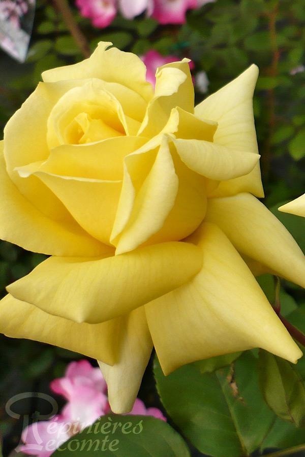 ROSIER Landora ® Clinora (Grimpant)