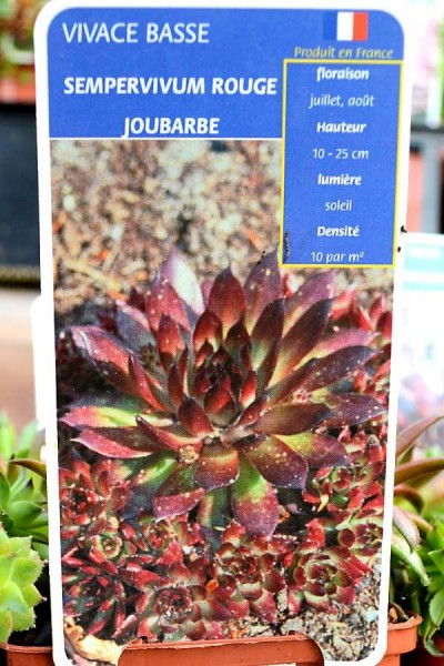 JOUBARBE Rouge